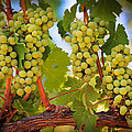 Chelan Grapevines by Inge Johnsson