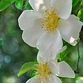 Cherokee Roses by Jan Amiss Photography