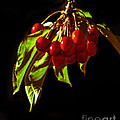 Cherries by Robert Bales