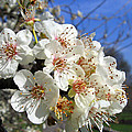 Cherry Blossom 1 by Helene U Taylor