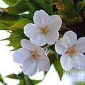 Cherry Blossom 2 by Andrea Anderegg