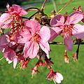 Cherry Blossom 2 by Helene U Taylor