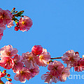 Cherry Blossom Against Blue Sky by Kerstin Ivarsson
