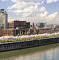 Cherry Blossom Along Portland Oregon Waterfront Panorama by Jit Lim