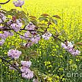 Cherry Blossom And Rapeseed by Julie Woodhouse