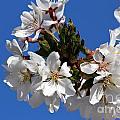 Cherry Blossom Blue Sky - 1 by Kenny Glotfelty