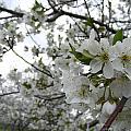 Cherry Blossom by Ciara Stumm