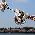 Cherry Blossom Dc by Richard Stout