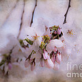 Cherry Blossom Dreams by Terry Rowe