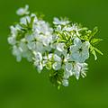 Cherry Blossom Featured 3 by Alexander Senin
