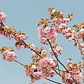 Cherry Blossom by Jacek Malipan