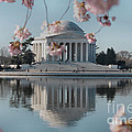 Cherry Blossoms And Jefferson Memorial by Luv Photography