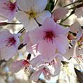 Cherry Blossom by Roleen  Senic
