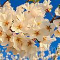 Cherry Blossom Macro by Jeff at JSJ Photography