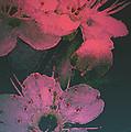 Cherry Blossom by Mim White