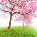 Cherry Blossom On Trees by Wladimir Bulgar