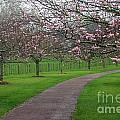 Cherry Blossom Path by Gee Lyon