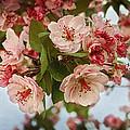 Cherry Blossom Pink by Terry Fleckney