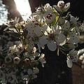 Cherry Blossom by Rachel Freeman