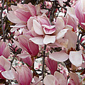 Pink Magnolia Blossom by Richard Stout