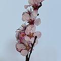 Cherry Blossom Sprig by Steev Stamford