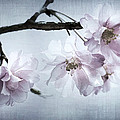 Cherry Blossom Sweetness by Kathy Clark