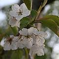 Cherry Blossom  by Tracey Harrington-Simpson