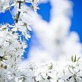 Cherry Blossom With Blue Sky by Raimond Klavins