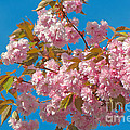 Cherry Blossoms 2 by Sharon Talson
