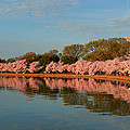 Cherry Blossoms 2013 - 001 by Metro DC Photography