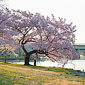 Cherry Blossoms 2013 - 003 by Metro DC Photography