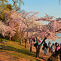 Cherry Blossoms 2013 - 007 by Metro DC Photography