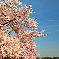 Cherry Blossoms 2013 - 014 by Metro DC Photography