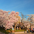 Cherry Blossoms 2013 - 015 by Metro DC Photography