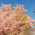 Cherry Blossoms 2013 - 016 by Metro DC Photography