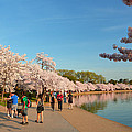 Cherry Blossoms 2013 - 020 by Metro DC Photography