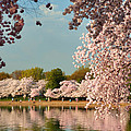 Cherry Blossoms 2013 - 023 by Metro DC Photography