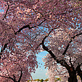 Cherry Blossoms 2013 - 024 by Metro DC Photography