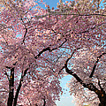 Cherry Blossoms 2013 - 025 by Metro DC Photography
