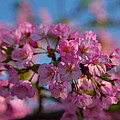 Cherry Blossoms 2013 - 031 by Metro DC Photography