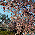 Cherry Blossoms 2013 - 038 by Metro DC Photography