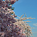 Cherry Blossoms 2013 - 046 by Metro DC Photography