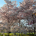 Cherry Blossoms 2013 - 049 by Metro DC Photography