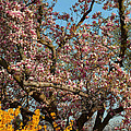 Cherry Blossoms 2013 - 051 by Metro DC Photography