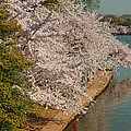 Cherry Blossoms 2013 - 053 by Metro DC Photography