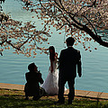 Cherry Blossoms 2013 - 054 by Metro DC Photography