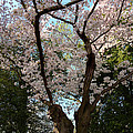 Cherry Blossoms 2013 - 056 by Metro DC Photography