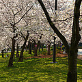 Cherry Blossoms 2013 - 057 by Metro DC Photography