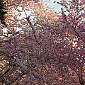 Cherry Blossoms 2013 - 065 by Metro DC Photography
