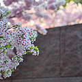 Cherry Blossoms 2013 - 066 by Metro DC Photography